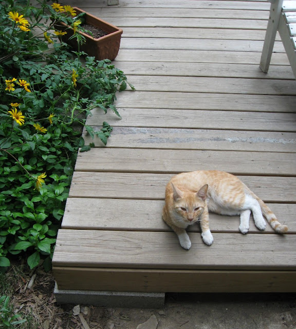 Closeup of stray cat on deck