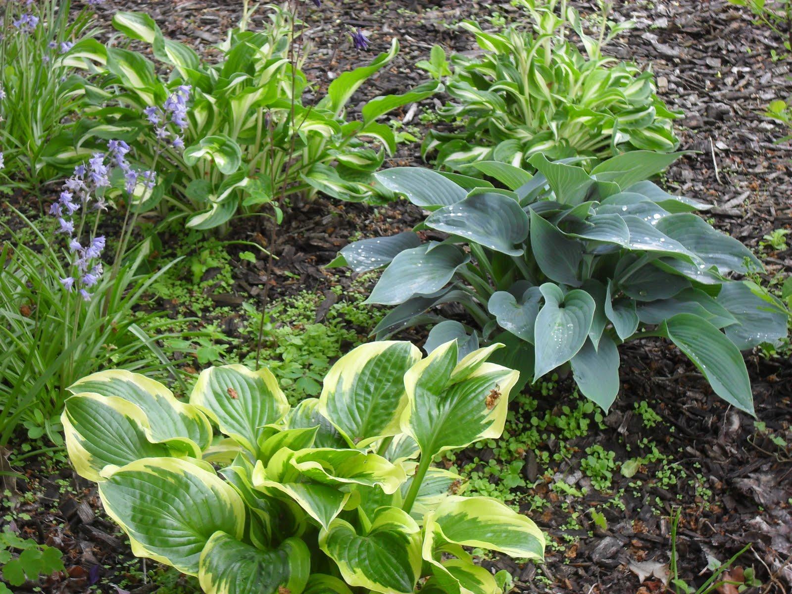Holly Grove Garden Hosta Glory