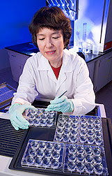 Biochemist Donna Bielinski prepares mammalian tissue samples to look for the formation of new neurons, or neurogenesis. Photo courtesy of USDA, ARS