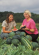 Before analyzing it in the lab, plant physiologist Penelope Perkins-Veazie (right) and technician Shelia Magby examine a freshly sliced mini-watermelon