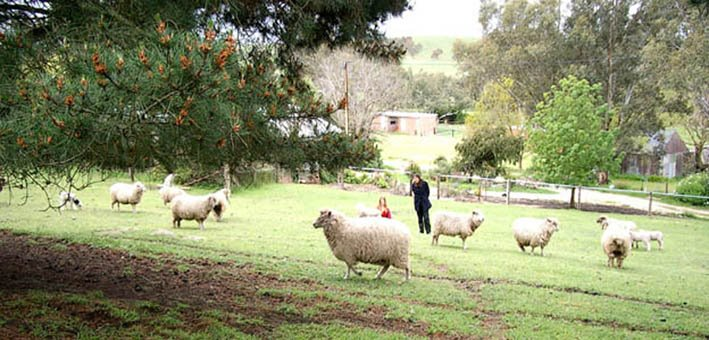 Sheep in home paddock