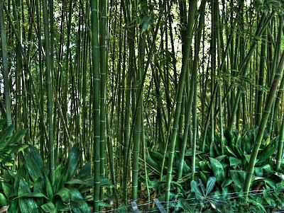 bambu del jardi botanic de blanes