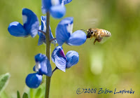 Click for Larger Image of Bee and Bluebonnets