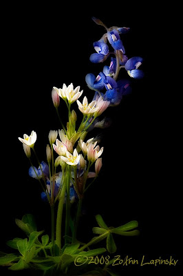 Click for Larger Image of Bluebonnets and False Garlic
