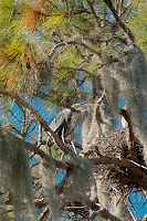 Click for Larger Image of Great Blue Heron and Nest