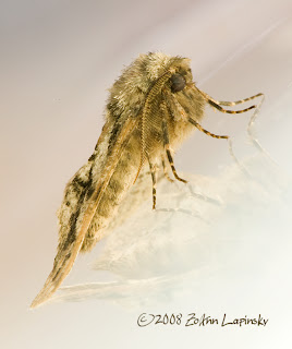 Click for Larger Image of Moth