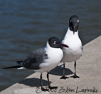 Click for Larger Image of Laughing Gulls