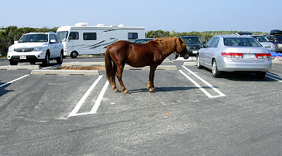 Assateague pony standing in parking spot