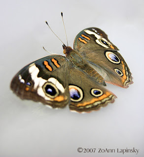 Click for Larger Image of Buckeye Butterfly