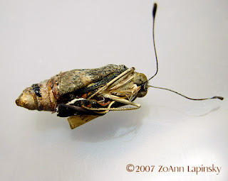 Click for Larger Image of Buckeye Pupa