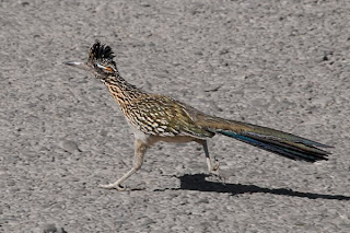 Click for Larger Image of Roadrunner