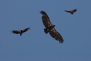 Click for Larger Image of California Condor (all three images are of the same bird. The red mark is a tag)