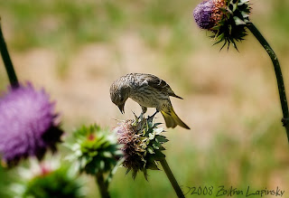 Click for Larger Image of Female Finch on Thistle