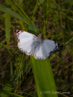 Click for Larger Image of Laviana White Skipper-Heliopetes arsalte