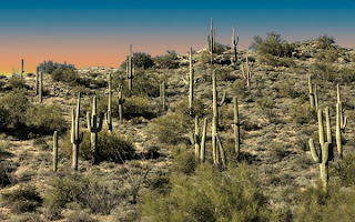 Click for Larger Image of Saguaro Cacti