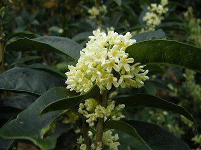 A tidewater gardener intoxicating osmanthus for Osmanthus fragrans aurantiacus