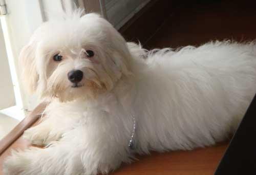 Anjing maltese , anjing berbulu halus yang dapat menjadi sahabat kita