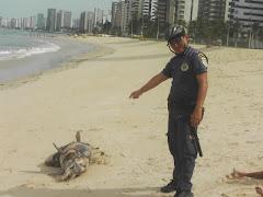 GAT encontra Golfinho morto na Praia de Piedade.