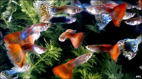 guppies for sale. study of tropical guppies,
