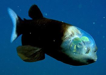 Der Fisch mit dem durchsichtigen Kopf, Macropinna Microstoma