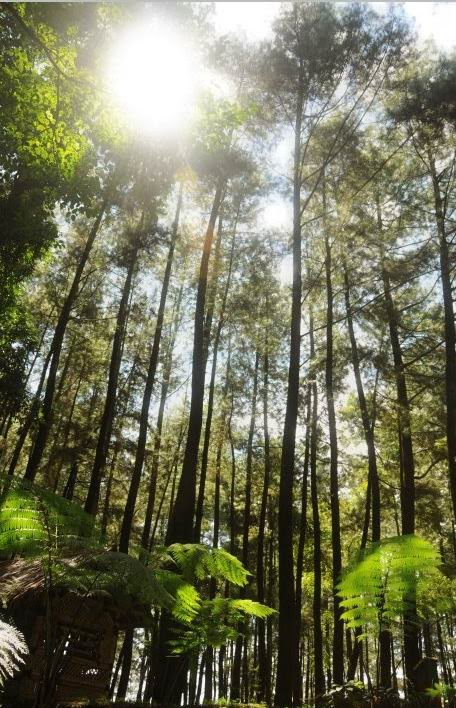HUTAN PINUS GUNUNG SALAK