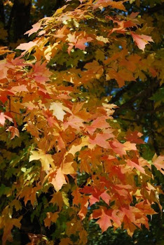 Favorite maple...