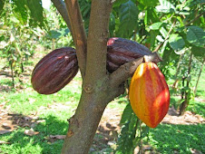 theobroma cacao