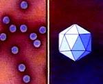 Virüs, Küre Kristal Virüsler, 20 Yirmi Üçgen