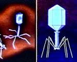 Çokgen Şekilli Virüs, Saplı Gövdeli Virüs