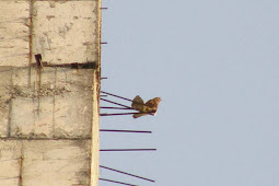 "Falco moluccensis ""SUKSES"" Breeding"