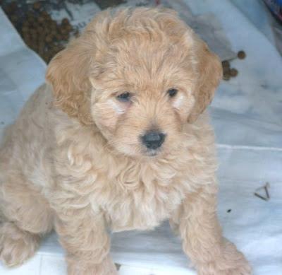 mini goldendoodle pictures. Mini Goldendoodle puppies