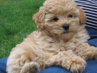 mini goldendoodle puppy. Puppies from Previous Litter