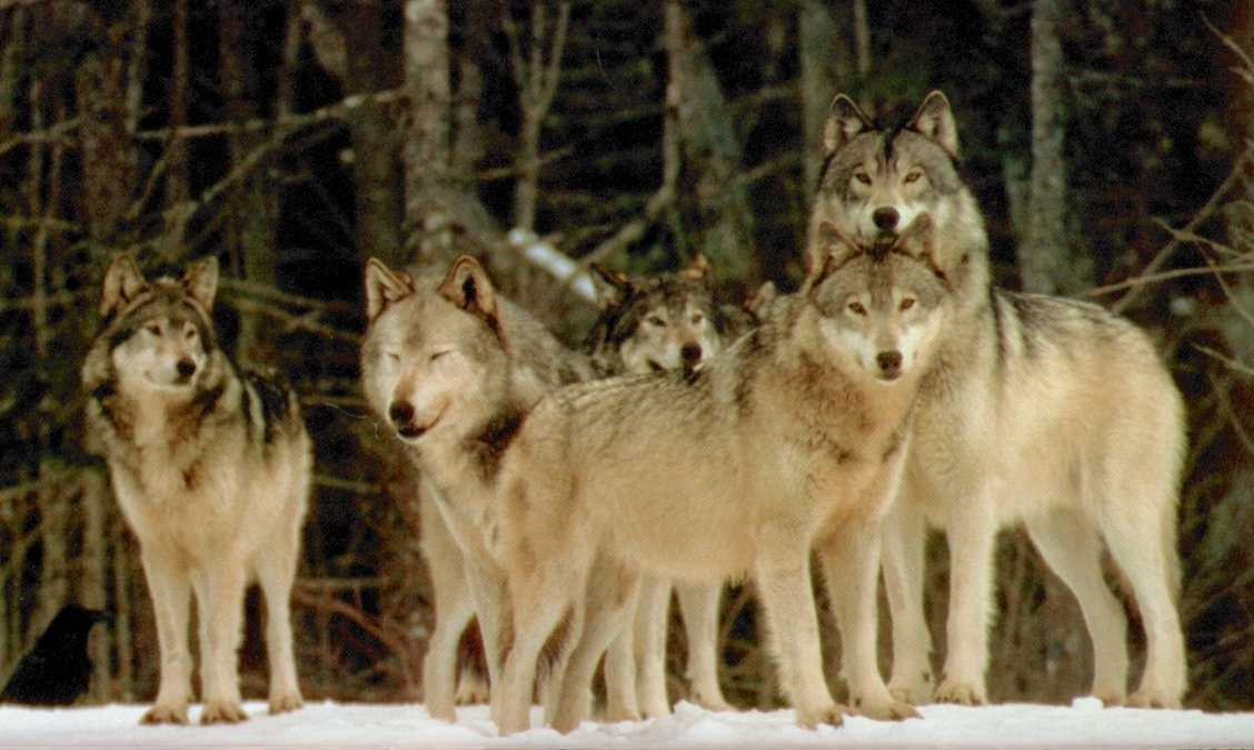 Pack of Wolfs