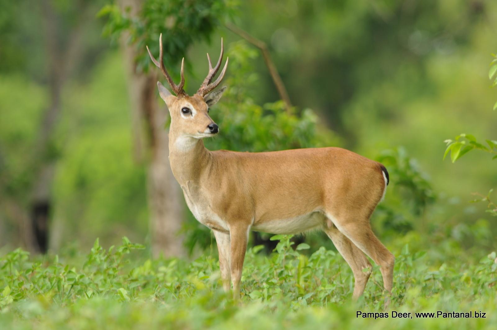 [Image: pampas+deer.JPG]