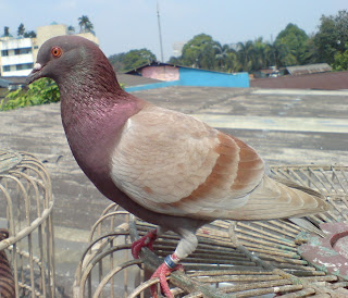 Kandang Merpati Duren Tiga: Burung Balap