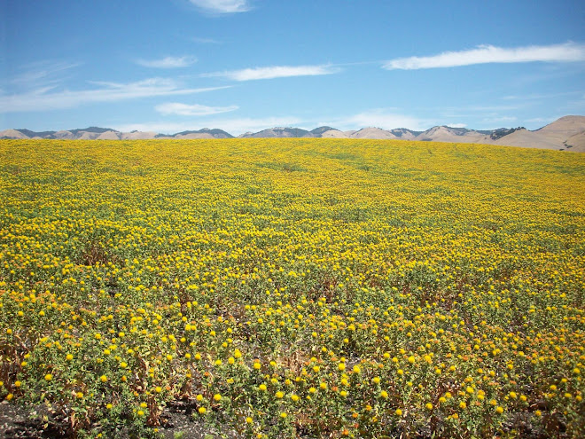SUMMER WILDFLOWERS IN EDNA VALLEY
