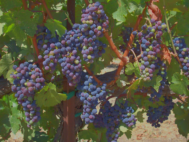 Velvet-like Clusters Ripening to Perfection in Paso Robles