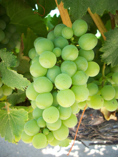 Crisp Sauvignon Blanc