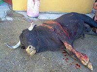 toro después de lidia
