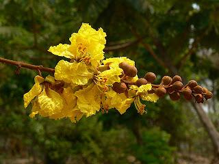 Nonthaburi flower