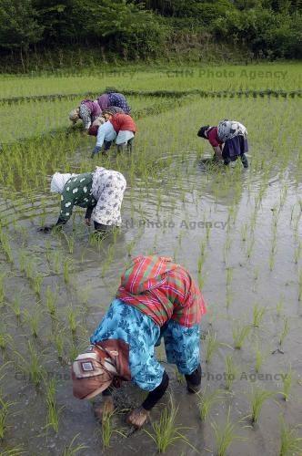 زنان و مردان کشاورز لاهیجانی زحمت میکشند و ندیم لشت نشائی رشوه میگیرد تا واردات برنج و چای را آزاد