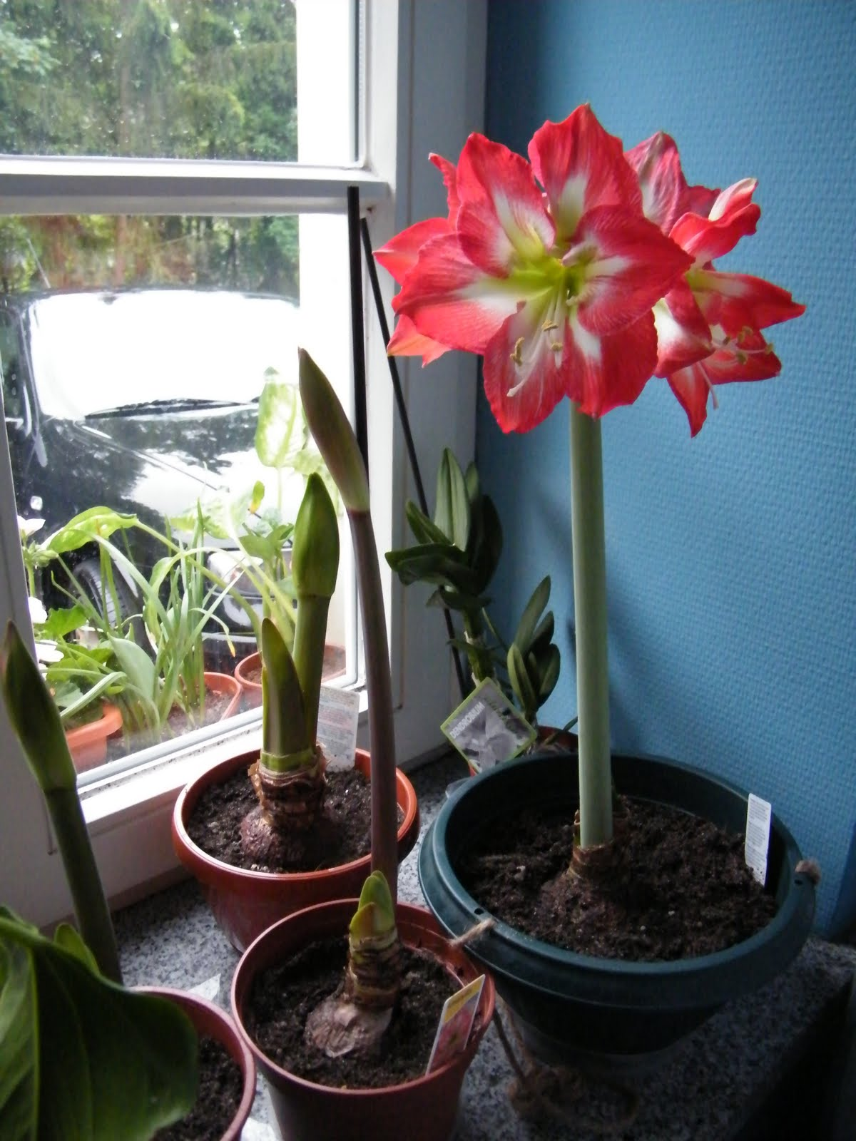 Blooming Amaryllis Bought From Amsterdam