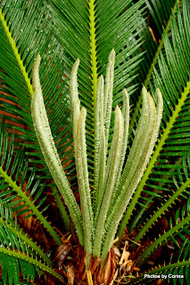 New Leaves on Sago Palm
