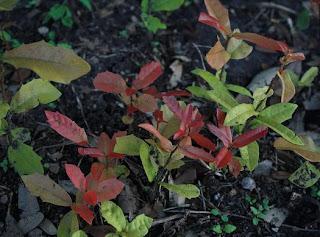Oak Treelings
