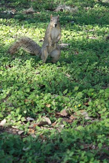 Squirrel at Landa Park, New Braunfels, TX