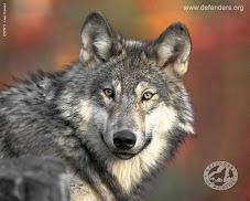 Ο 'Περιπλανόμενος Λύκος'