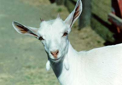 """Parafilias: Zoofilia (III) o """"Love Goat"""" (""""Vacaciones en el"""