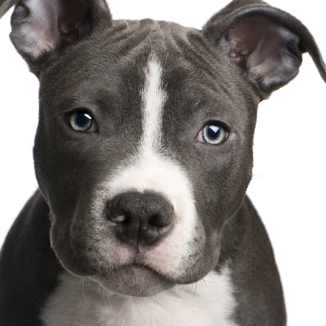 dog picture photo american pit bull terrier puppy