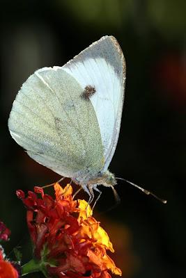 Borboleta branca da couve (Pieris brassicae)