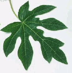 Tips Improve your appetite with Papaya Leaf